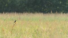 Saxicola rubetra (Nolwenn Viveret) Tags: aves oiseau oiseaux tarierdesprés tarier muscicapidae nature photography bird france biodiversity passereau passeriforme touraine indre et loire