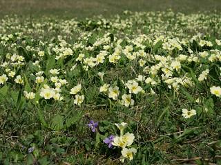 Primrose carpet at Grangelands