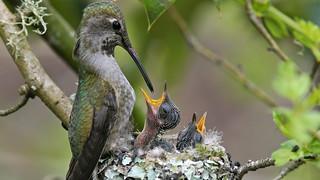 Anna Hummingbird Nest