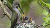 Anna Hummingbird Nest (photosauraus rex) Tags: birds anna hummingbird hummingbirdnest annahummingbirdyoung vancouver bc canada calypteanna