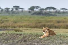 Watching the herds (tmeallen) Tags: lioness wellfed lyingdown watching greatmigration migratingherds streambank acaciatrees wildlife safari lakendutu serengeti tanzania eastafrica