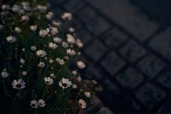落陽 / at dusk (ryo_ro) Tags: ilce7 a7 sony nokton 50mm f15 voigtlander vm cosina