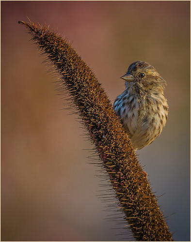 27 - House Finch on the Lookout