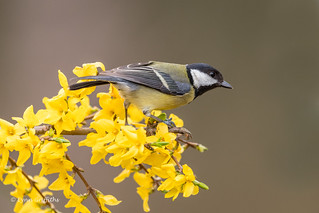 Great Tit - End of the line D85_2347.jpg
