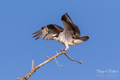 Male Osprey landing sequence - 22 of 28