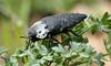 9020 Capnodis tenebrionis (jon. moore) Tags: malhadadesantamaria algarve portugal capnodistenebrionis buprestidae coleoptera