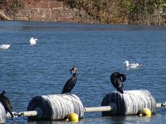 DSC07049 (guyfogwill) Tags: 2018 bird birds devon exeter febuary guyfogwill unitedkingdom gbr