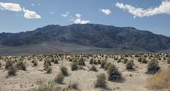 Arrow Weed (Pluchea sericea) (Ron Wolf) Tags: arrowweed asteraceae deathvalleynationalpark nationalpark plucheasericea botanical botany desert nature california