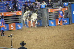 IMG_1636 (melodavis@sbcglobal.net) Tags: rodeohouston 2018 rodeo livestock heifer farmlife steer saddlebronc bronc bull bullriding calfscramble alpaca