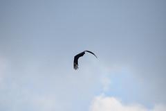 IMG_0264 (palebluejen) Tags: bird animal everglades evergladesnationalpark wildlife 201803florida sky nature fl usa