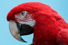 Green-winged Macaw (dpsager) Tags: bird birds brookfield brookfieldzoo dpsagerphotography greenwingedmacaw macaw zoo