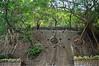 Stone wall trees (Jeremy Austin (austinjosa)) Tags: trees banyantrees stonewalls masonry retainingwalls hills slopes hongkong kennedytown pokfulam victoriaroad city nature urban
