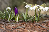 Stand out in a Crowd (brucetopher) Tags: crocus purple shiny silk silky smooth sunshine sunny nature natural spring warm warmth garden flowerbed bed flora white snowdrop grow bloom blooming bud flower flowering signsofspring seasonal crowd gathering group