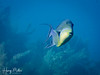 A queen triggerfish on the reef (HarryMiller002) Tags: fish queentriggerfish littlecayman caribbean underwater scuba diving