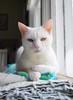 Charlie (rootcrop54) Tags: charlie white allwhite male cat oddeyed oddeyes heterochromia neko macska kedi 猫 kočka kissa γάτα köttur kucing gatto 고양이 kaķis katė katt katze katzen kot кошка mačka gatos maček kitteh chat ネコ