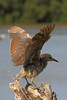 A volar (Albert T M) Tags: martinet aiguamollsdelempordà aiguamolls marismas humedal natura naturaleza catalunya catalonia ocells faunasalvatge canon70300mmf456isiiusm