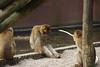 MWE-20180325-022 - bewerkt.jpg (Schuttermajoor1974) Tags: berberaap ouwehandsdierenpark dierentuin rhenen utrecht nederland nl