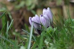 Crocuses (haberlea) Tags: garden mygarden flowers crocuses purple green nature spring three 3