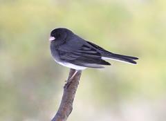 Junco (Marie-Helene Levesque) Tags: oiseau abitibi valdor côtede100pieds loft junco mariehélène mariehelene