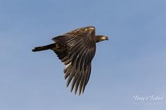 Juvenile Bald Eagle flyby
