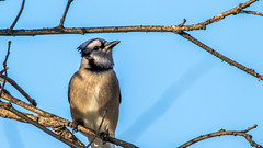 IMG_7448 (brian.a.stamper) Tags: bluejay jay cyanocittacristata bird animal