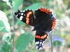 Vanessa atalanta - Red admiral - Адмирал (Cossus) Tags: nymphalidae nymphalinae vanessa 2007 анциферово