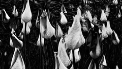 Tulipa Nocturne (hz536n/George Thomas) Tags: 2008 canon30d newyorkcity tulip tulipa black pixelbender adobelabs cs5 spring flora flower