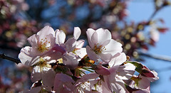 cherry blossoms (scott1346) Tags: tree cherry flower blossoms pink white sky fragrant festival local neighborstree 1001nights 1001nightsmagiccity canon canont3i beauty 1001nightsmagicgarden thegalaxy