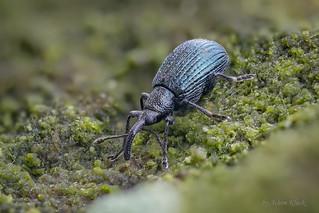 Spitzmausrüssler (Apionidae) Größe ca. 2,5 - 3 mm
