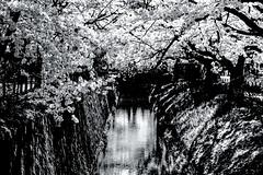 Sakura : symbole du coitus reservatus  - 05