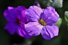 little Flower (Hugo von Schreck) Tags: hugovonschreck flower blume blüte macro makro canoneos5dsr tamronspaf180mmf35dildifmacro11 givemefive