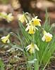 LBG Mar 2018 - 195 (Lostash) Tags: nature life plants flowers flora gardens spring 2018 leicesterbotanicalgardens daffodils narcissus