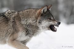 Gray Wolf (10) (Rob Blanken) Tags: graywolf wolf belarus