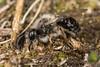 Mining Bee (Andrena vaga, f) (The LakeSide) Tags: insect macro bee biesbosch netherlands nikon r1c1 d7100 andrena vaga mining