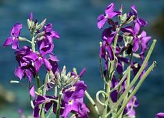 ~Spring Flowers~ (~☮Rigs Rocks☮~) Tags: rigsrocks purpleflowers loverspointpark macroflowers pacificgrove monterey springflowers wildflowers