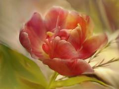 Tulip (evisdotter) Tags: tulip tulpan flower blomma macro 2in1 myart textured