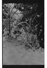 P60-2018-021 (lianefinch) Tags: argentique argentic monochrome blackandwhite blackwhite bw noirblanc noiretblanc nb nature analogique arbre tree analog jardin garden hiver winter snow neige frozen gelé