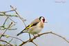 Chardonneret élégant Carduelis carduelis (6) (Ezzo33) Tags: france gironde nouvelleaquitaine bordeaux ezzo33 nammour ezzat sony rx10m3 parc jardin oiseau oiseaux bird birds goldfinche chardonneret élégant carduelis