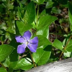 *Vinca major, GREATER PERIWINKLE (openspacer) Tags: apocynaceae jasperridgebiologicalpreserve jrbp nonnative periwinkle vinca