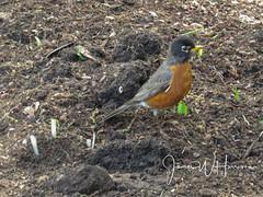 Spring at the Arboretum - 2018 (gttexas) Tags: 2018 arboretum dallas robin tx texas bird flower usa