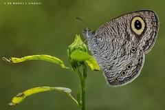 Common Fourring butterfly. (MCSindagi) Tags: sony sonyrx10m4 sonycybershot sonyrx10iv rx10 rx10m4 rx10iv bengaluru bangalore karnataka india commonfourring butterfly macro closeups telemacro insects indianbutterflies