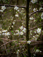 spring chaos (marinachi) Tags: spring flower white closeup twigs outdoorbeauty