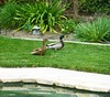 MALLARD DUCKS FRESH FROM A SWIM IN OUR POOL (kelsey61 ( AWAY WED-FRI THIS WEEK)) Tags: mallardduck drake hen water pool swimmingpool lawn plants