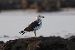 Pacific Gull 3rd w (Baractus) Tags: hawley beach tasmania australia john oates pacific gull pacificus inala nature tours