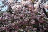 静香 Shizuka (eyawlk60) Tags: 桜 さくら 春 ピンク 白 造幣局 通り抜け 大阪 日本 spring japan white pink cherryblossom