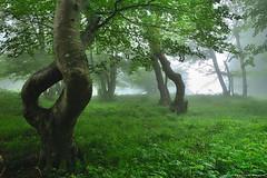 Beauty of Nature (Hector Prada) Tags: árbol tree bosque forest spring primavera niebla fog hojas leaves atmósfera atmosphere naturaleza nature twisted paísvasco basquecountry