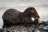 Otter's meal (Ginger Snaps Photography) Tags: wild wildlife inverness otter nature sealife feeding