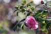 Pink Camelia (hehaden) Tags: camelia pink flower shrub garden bokeh bordehill haywardsheath sussex spring