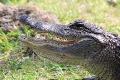 American alligator (Alligator mississippiensis) (im2fast4u2c) Tags: american alligator mississippiensis sheldonlakestatepark wildlife animal wild