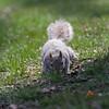 Central Park squirrel (@harryshuldman) Tags: centralpark centralparkbirds nycbirds ducks duck newyorkcity nyc manhattan centralparknyc canon 7dmark ii nature flickrnature squirrel rodent squirridae sciuridae